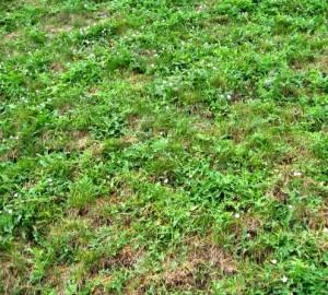 сорняки в газонной траве